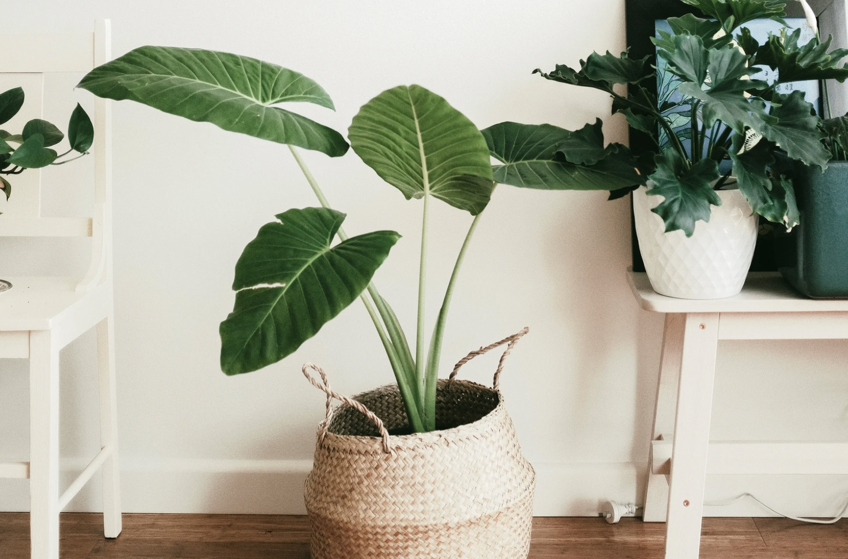 3 indoor plants in a home setting with wood floors